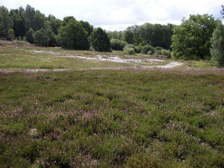 Der nördliche Rand des Herrenmoores wird geprägt durch den Nuttelner Heidberg (hier in Blüte)
